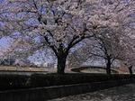 自遊館周辺桜並木