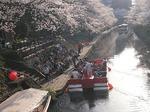 松川べり 桜並木