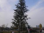 環水公園 クリスマスツリー。もみの木